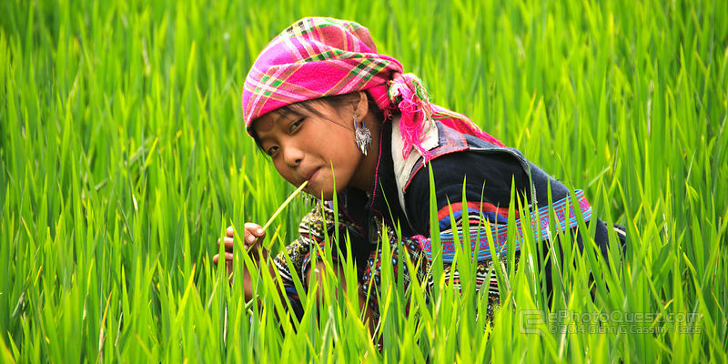 Young Black Hmong Woman in Lush Green Rice Paddy