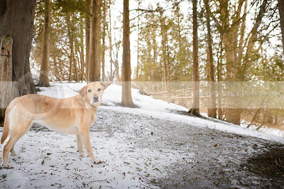 windblown yellow dog standing in winter setting with trees