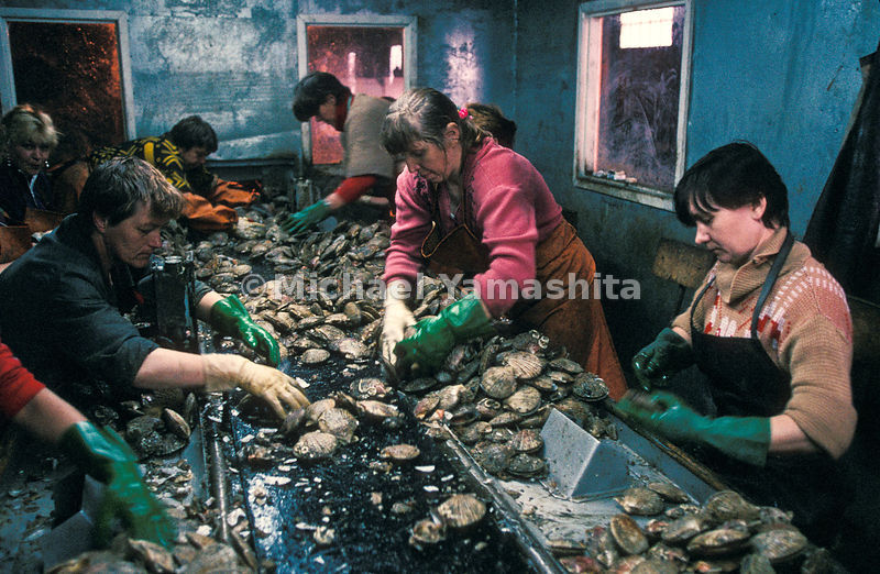 Women endure squalid conditions at a scallop packing plant on Paramushir. One of the island's two newly privatized plants has been modernized.