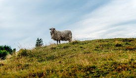 Danish sheep 3