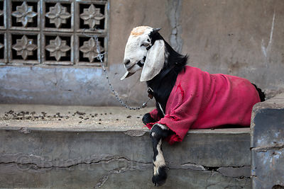 Goat wearing a sweater, Jodhpur, Rajasthan, India