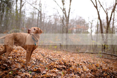 handsome senior red gundog standing in autumn leaves