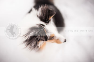 headshot of tricolor merle dog ears with minimal background