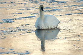 trumpeter_swan_sitting_ice_twilight20120101_0004