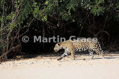 Male Jaguar (Panthera onca) 'Hero' stands immediately and follows 'Hunter' down the beach, Three Brothers River, Northern Pantanal, Mato Grosso, Brazil: Image 3 of 62; elapsed time 1min
