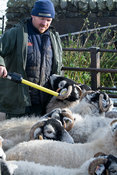 Farmer reading electronic identification tags from a sheep using a stick reader. Co. Durham, UK.