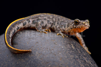 Buresch's crested newt (Triturus ivanbureschi)   photos