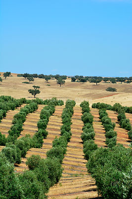 Olive groves near Mértola. Alentejo, Portugal