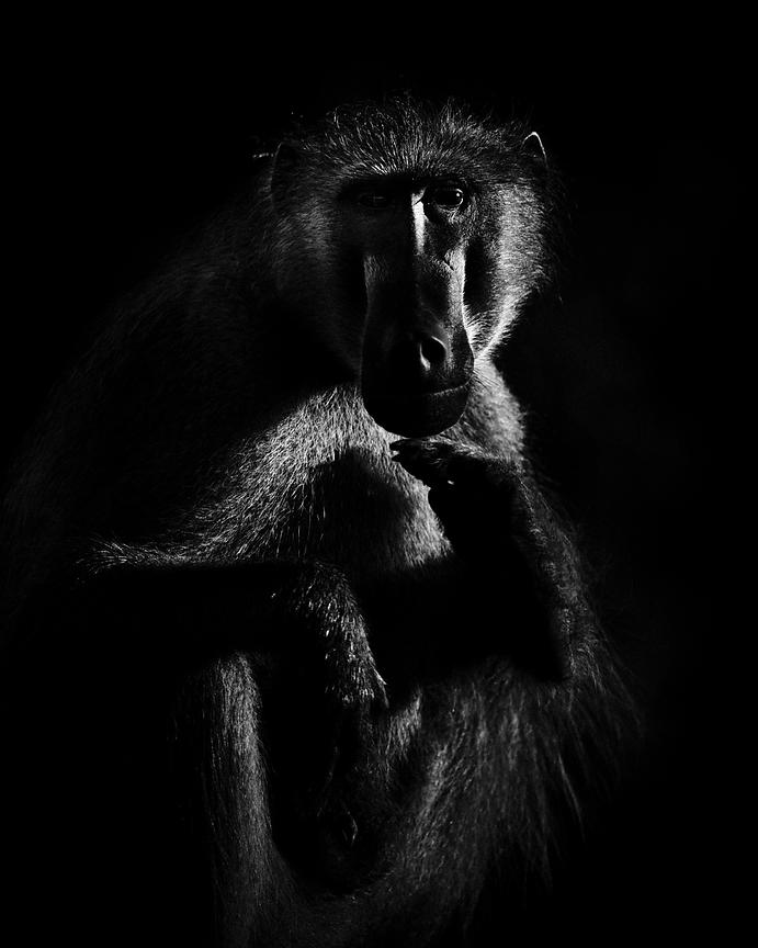 1525-Portrait_of_baboon_in_the_shade_Laurent_Baheux