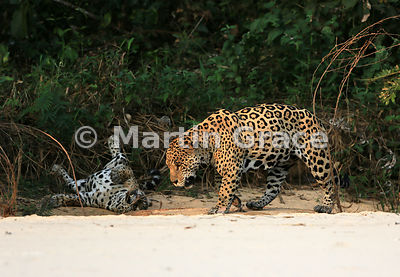 Male Jaguar 'Hero' (Panthera onca) looks absolutely exhausted as he trudges past female 'Hunter', who is rolling energetically on her back as Jaguars always seem to do after being mated. Image 45 of 62; elapsed time 1h 35mins