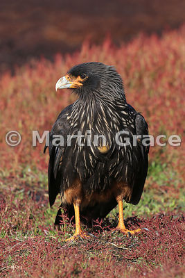 Striated Caracara (Phalcoboenus australis) standing in Sheep's Sorrel (Rumex acetosella), Sea Lion Island, Falkland Islands