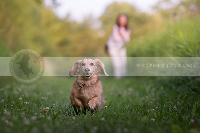 happy little gold dachshund dog running in mowed grass in park