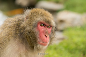 A Japanese snow monkey at Arashiyama Monkey Park Iwatayama in Arashiyama, Kyoto.