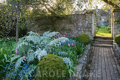 View from kitchen garden into the cutting garden past bed with mounds of silvery cardoon foliage, clipped box, self seeded forget-me-nots and pink Tulipa 'Ballade'. Brilley Court Farm, Whitney-on-Wye, Herefordshire, UK