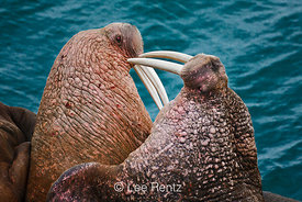 Pacific Walrus males eyeing each other