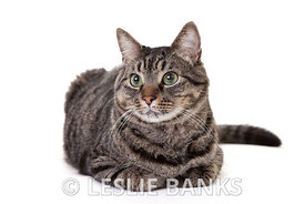 Cute Tabby Cat Isolated on White