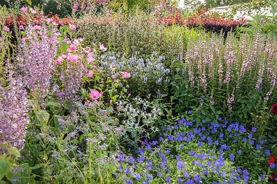 Silver, pink and blue borders featuring Savia turkestanica, geraniums, eryngiums, mallows and loosestrife. Floors Castle, Kelso, Roxburghshire, Scotland