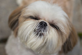 Close-up of Shih-Tzu Dog with Eyes Closed
