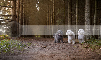 three little fluffy dogs standing in tunnel of trees