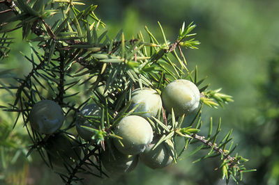 Juniper prickly, berries, Juniperus oxycedrus