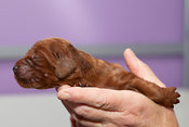 Three day old Irish setter puppy