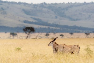 Kudu in Kenya With Oxpeckers