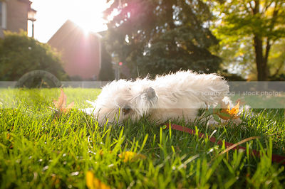 small white dog rolling on sunlit lawn