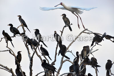 African Spoonbill (Platalea alba) flying over a tree full of Reed Cormorants (Phalacrocorax africanus), River Chobe, Botswana
