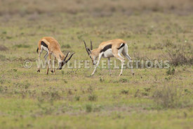 thomsons_gazelle_battle_8