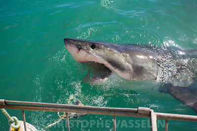 Gansbaai - Grand requin blanc (White shark)