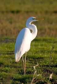 Great Egret #3