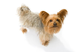 Yorkshire terrier dog looking up