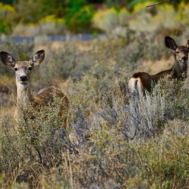 Deer & Antelope & Llamas photos