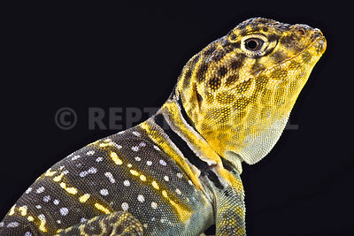 Yellow headed collared Lizard  (Crotaphytus collaris auriceps) photos