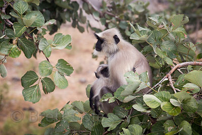 Langur monkey mother and baby in a magnificent ancient fig tree at the Ajaypal Shiva Temple, Rajasthan, India