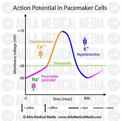 Action potential in pacemaker cells