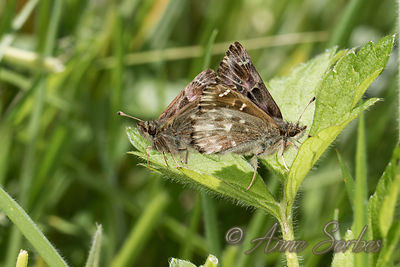 Mallow Skipper (Carcharodus alceae) photos