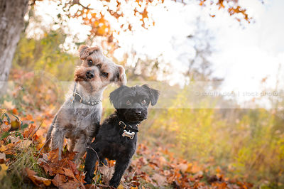 two small curious groomed dogs staring from autumn setting