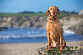 Red Hungarian Vizsla Dog Sitting on Rock at beach looking toward camera