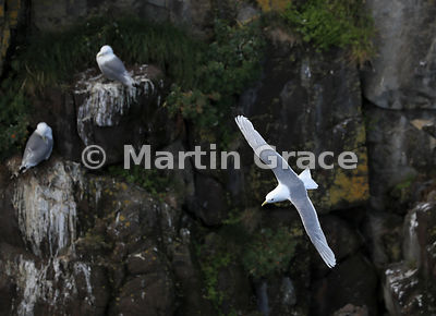 Black-Legged Kittiwake (Rissa tridactyla) in flight, flying past two occupied cliff nesting sites, Hafnarholmi, Austurland (Eastern Region, East Iceland), Iceland