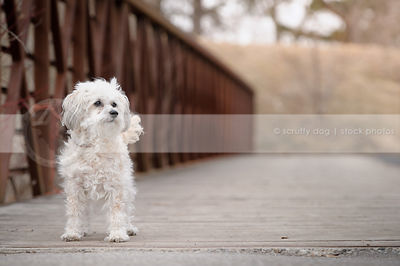 little white dog standing on bridge boards with steel in background