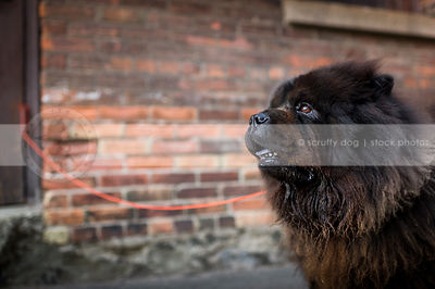 headshot of shaggy black chow dog at urban brick wall
