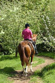 Chestnut warmblood gelding hacking