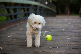 Small white poodle mix on a bridge watching tennis ball drop