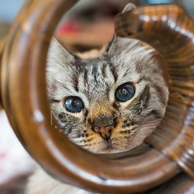 Tabby cat with blue eyes peeking intently through furniture