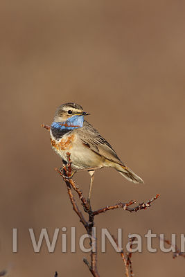 Bluethroat/Blåstrupe - Norway