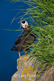 Tufted Puffin near burrow entrance