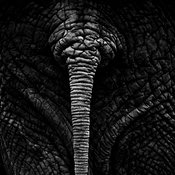 X-Tail_of_elephant_Laurent_Baheux