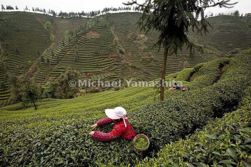 Ming Shan County, where tea was first discovered in 50bc. Pics of Mingshan Ecological Tea Garden, run by Sichuan Agricultural Univ. 1,334,000 sq.meters of oolong tea. Harvest season for new green tea stated on March 20.