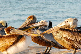 Pelicans beak to beak